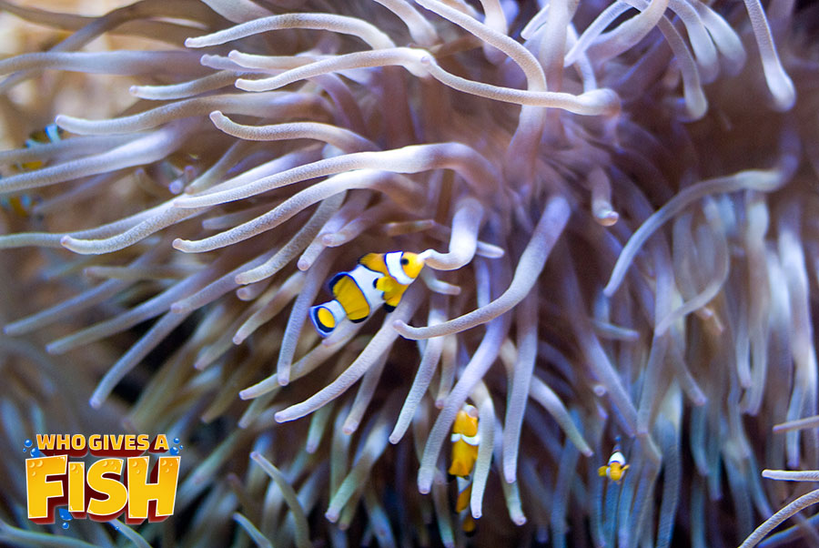 The symbiotic long tentacle anemone and clownfish