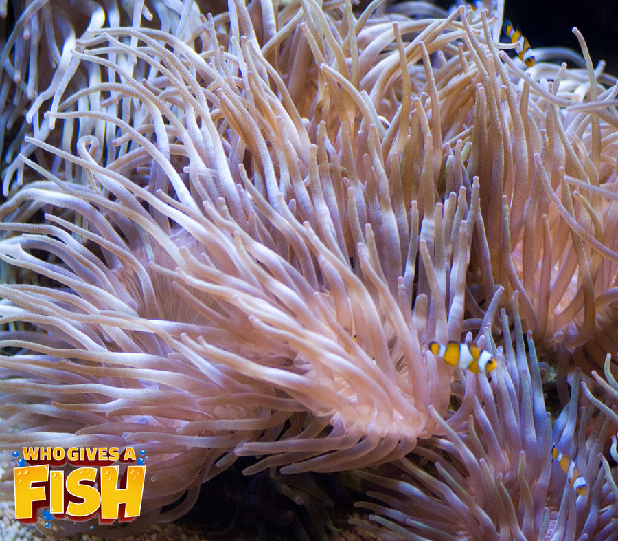 The majestic Long Tentacle Anemone in a reef aquarium