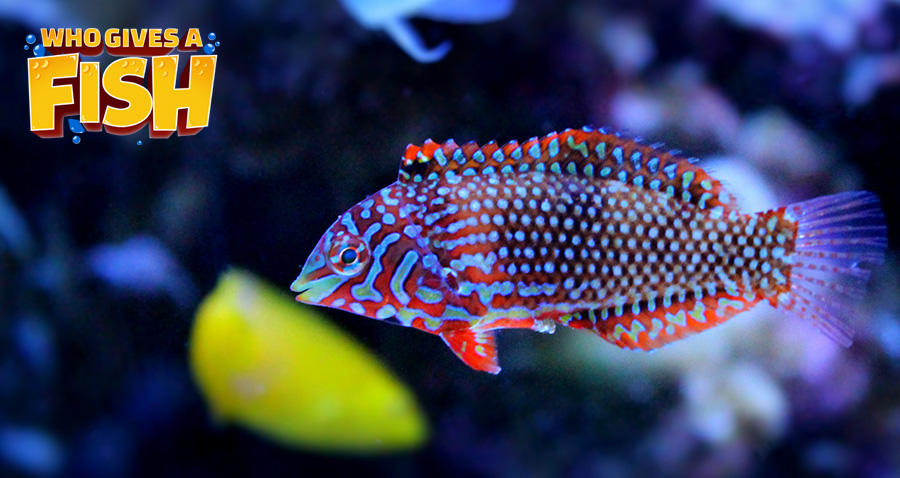 The Leopard Wrasse is a stunning but difficult fish to keep in an aquarium