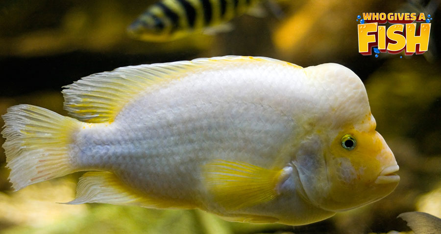 White and Yellow Midas Cichlid