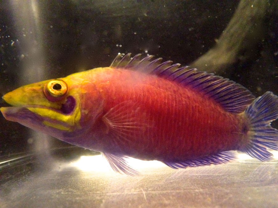 The odd looking Mystery Wrasse