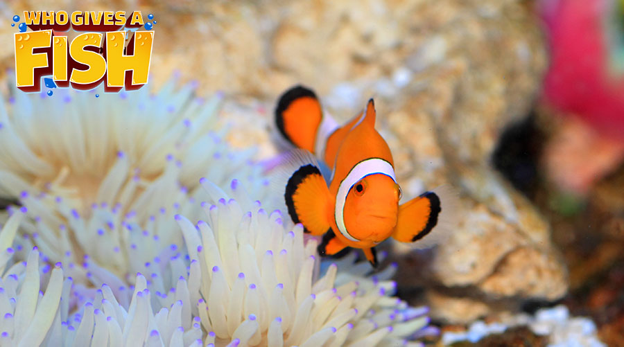 The wonderful clownfish and host anemone