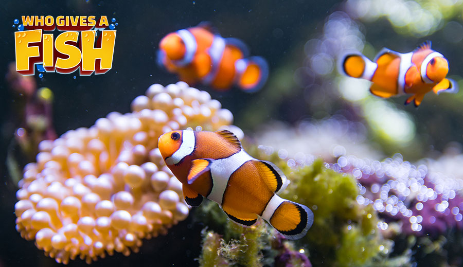 A community reef tank with Ocellaris Clownfish