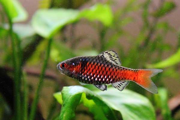 A single Odessa Barb in an aquarium