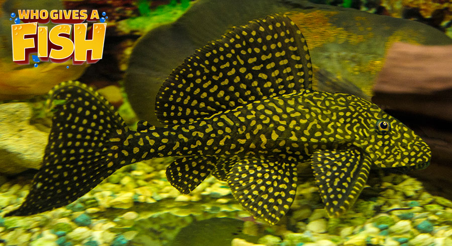 A Pleco is an essential part of the cleaning crew
