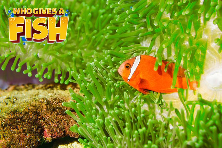 Premnas-Biaculeatus - The Maroon Clownfish