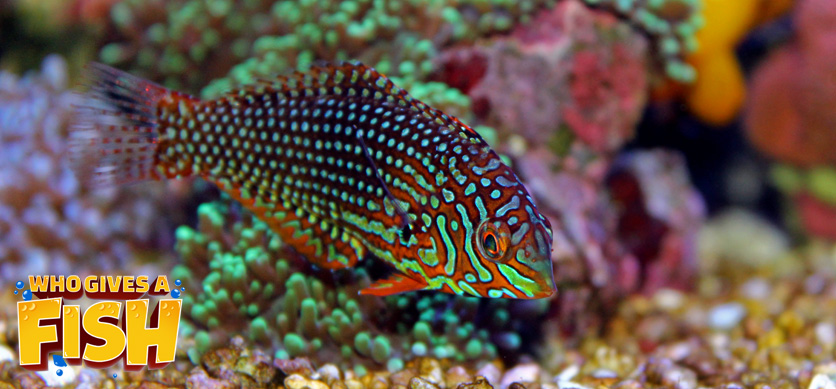 Leopard Wrasse display striking colors