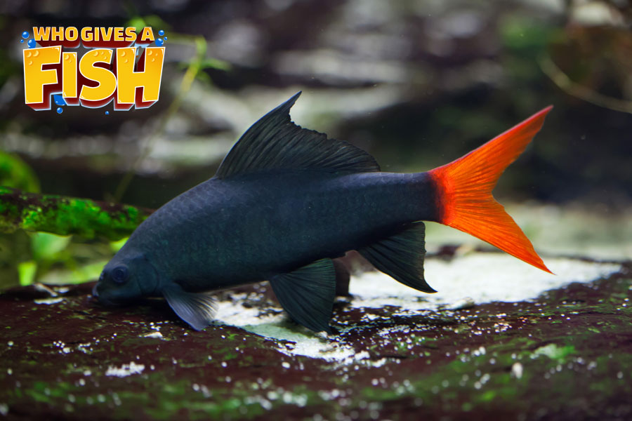 The brilliant Red Tailed Shark