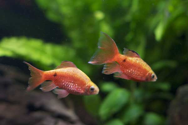 Two Rosy Barbs in an aquarium