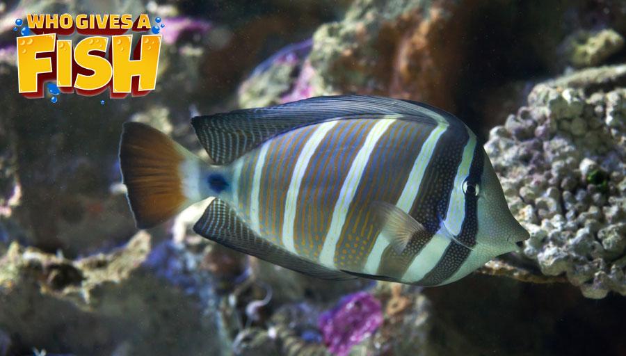 The Sailfin in a home aquarium