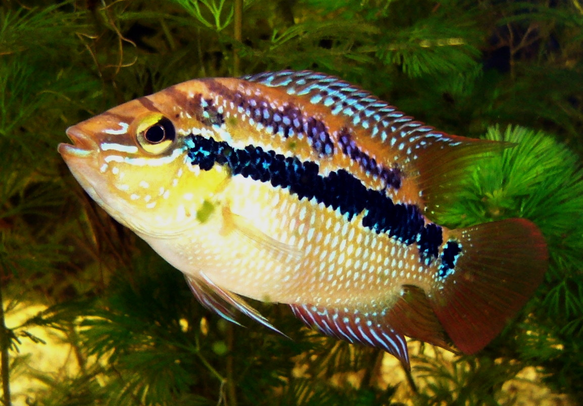 The well colored Salvini Cichlid