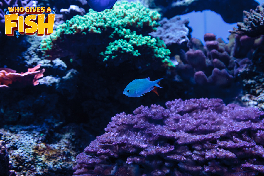 The Green Chromis is an excellent addition to your reef tank