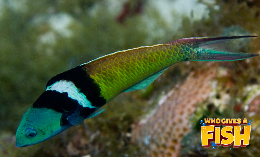 The interesting Bluehead Wrasse
