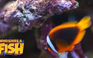 The common clownfish