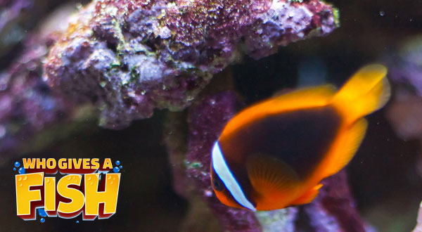 Striking colors shown on a Cinnamon Clownfish