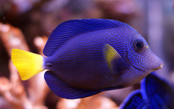 The wonderful and popular, Purple Tang