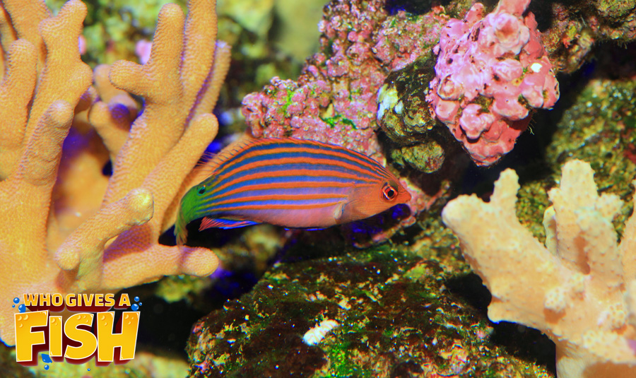 The Six Line Wrasse displays great blue stripes