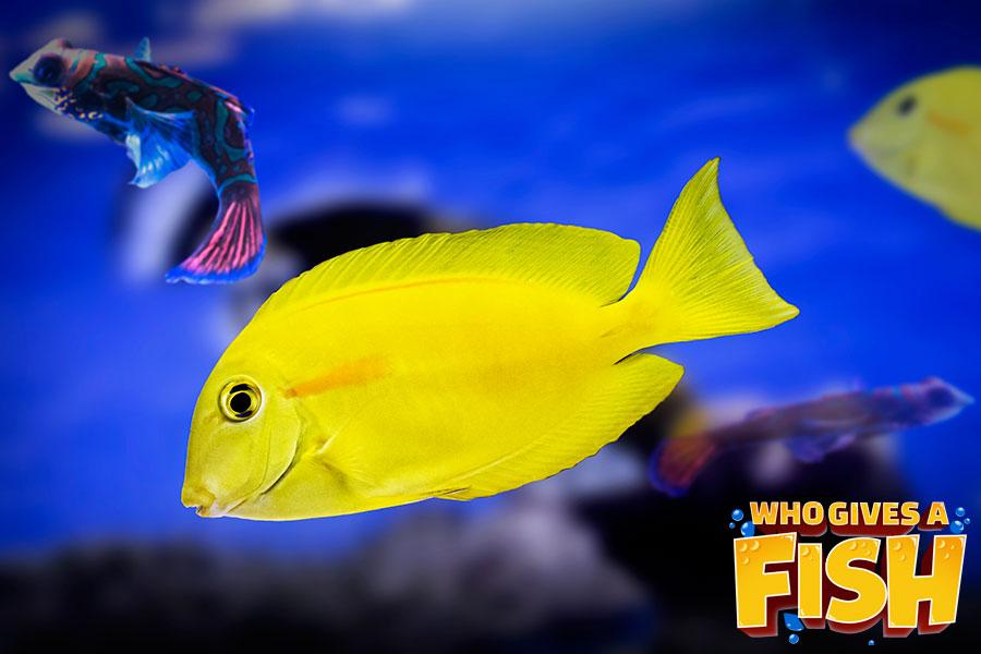 The glowing Yellow Angelfish