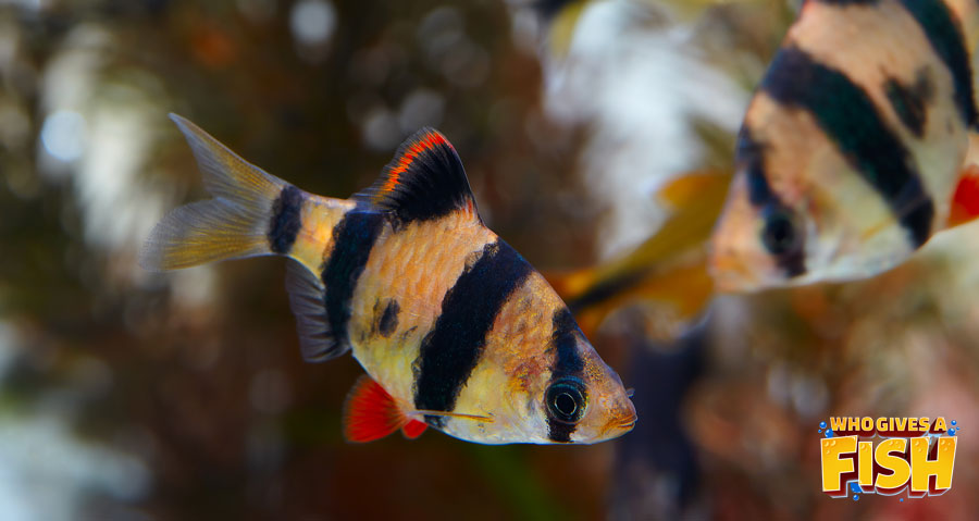 Two Tiger Barbs in a community tank