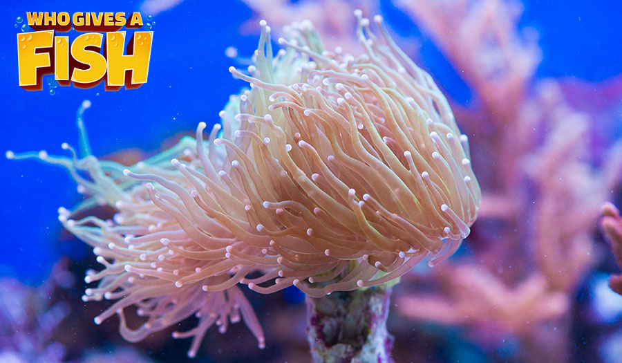 A pink Torch Coral