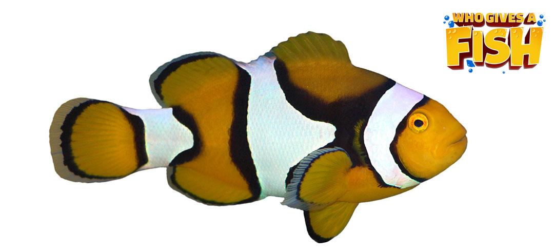 Closeup of Amphiprion percula
