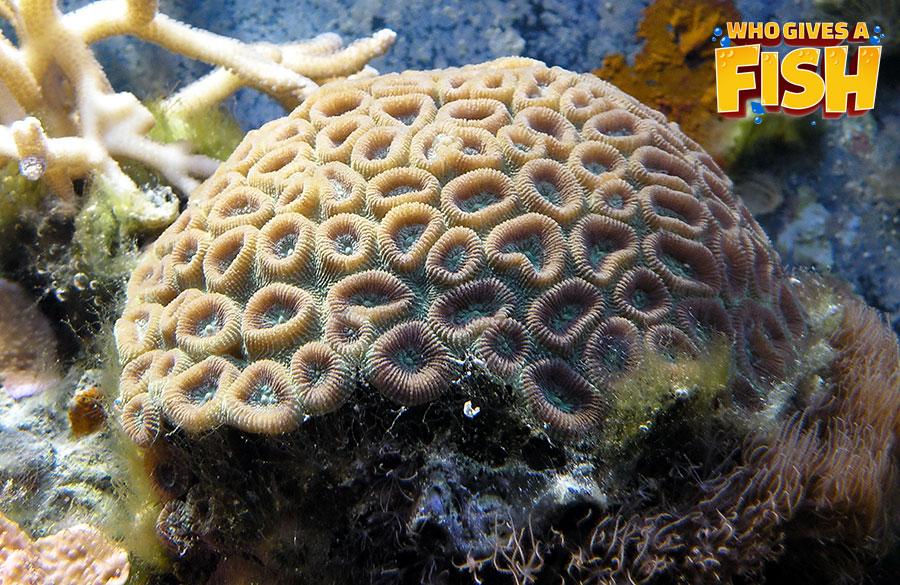 Large reef tank Trumpet Coral