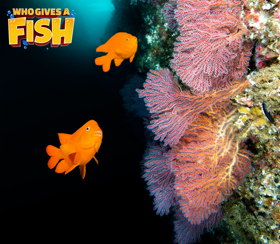 Garibaldi Fish in the wild