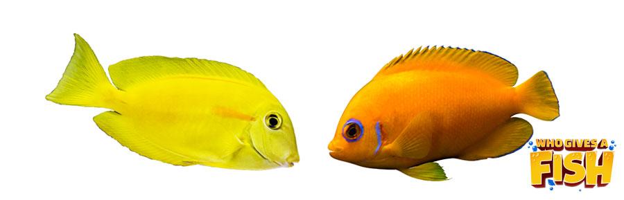 Yellow vs Lemonpeel Angelfish