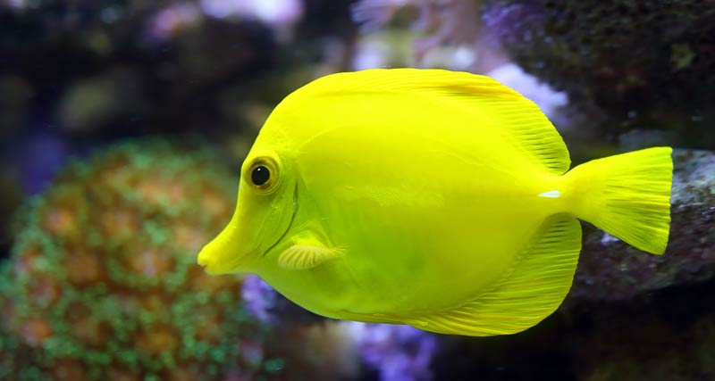 Learn about Tang fish before purchasing them!