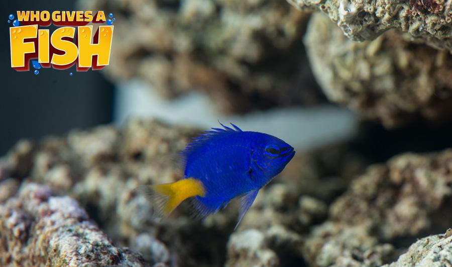 Yellowtail Damsel displaying deep blue colors
