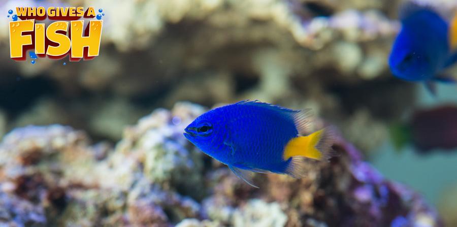 Yellowtail Blue Damsel in a home aquarium
