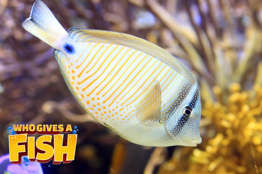Zebrasoma-Desjardinii - The Sailfin Tang