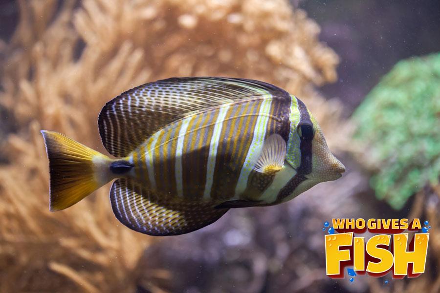 Zebrasoma-Veliferum - The Sailfin Tang