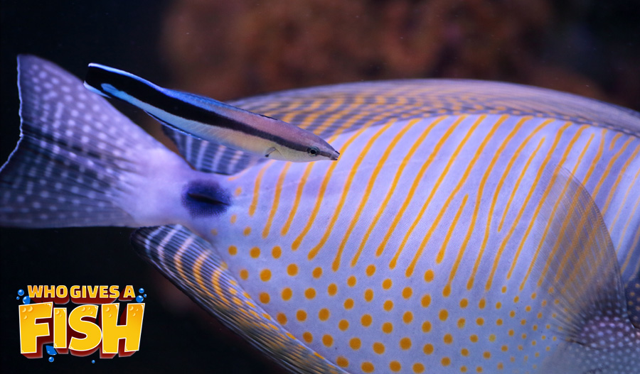 Cleaner Wrasse live in harmony with host fish